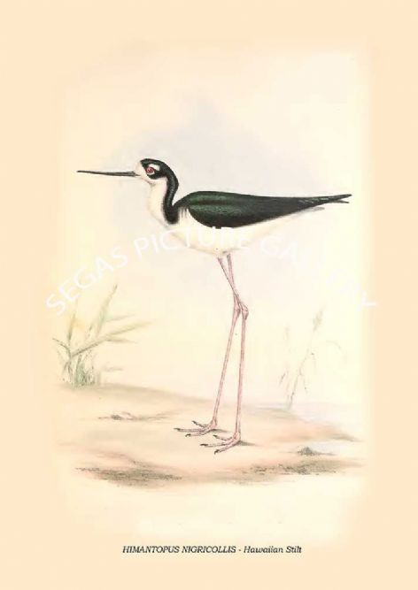 Fine art print of the HIMANTOPUS NIGRICOLLIS - Hawaiian Stilt by Philip Henry Goose (1849)